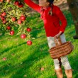 Stock Photo: Young girl picking organic Apples into the Basket.Orchard.