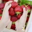 Strawberry - child picking fresh strawberries in the garden — Stock Photo