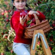 Young girl picking organic Apples into the Basket.Orchard. — Stockfoto
