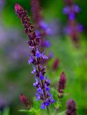 Ogród ziołowy - kwitnienia mędrzec w ogrodzie — Zdjęcie stockowe