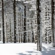 Stock Photo: Winter trees in Beskid mountains, Poland