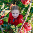 Apple orchard - cute girl picking red apples into the basket — Stock Photo