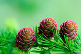 Larch branch with cones — Stock Photo