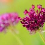 Herbal Garden - flowering garlic in the garden — Stock Photo #46688693