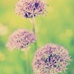 Herbal Garden - flowering garlic in the garden — Stock Photo #46689191