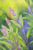 Herbal Garden - flowering sage in the garden — Stock Photo