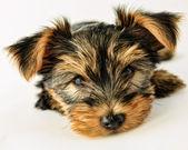 Yorkshire terrier - retrato de un lindo perrito — Foto de Stock