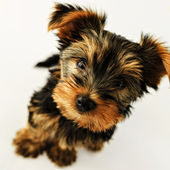Yorkshire terrier - portrait of a cute puppy — Stock Photo