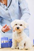 Veterinary treatment - vaccinating the Maltese dog — Stock Photo