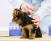 Veterinary treatment - vaccinating the Yorkshire puppy — Stock Photo