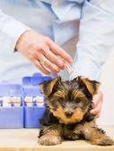Veterinary treatment - vaccinating the Yorkshire puppy — Stock Photo