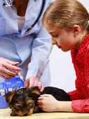 Veterinary treatment - vaccinating the Yorkshire puppy — Photo