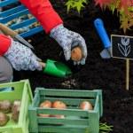 Gardening, planting, flowers bulbs - woman planting tulip bulbs — Stock Photo