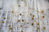 Flax after flowering on  wooden table — Stock Photo