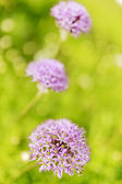 Herbal Garden - flowering chives in the garden — Stock Photo
