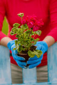 Gardening, planting - woman with geranium flowers — ストック写真