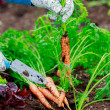 Gardening - First crop of organically grown carrots — Stock Photo #47082445