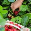 Strawberry - child picking fresh strawberries in the garden — Stock Photo #47084701