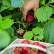Strawberry - child picking fresh strawberries in the garden — Stock Photo #47084801
