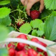 Strawberry - child picking fresh strawberries in the garden — Stock Photo #47084809