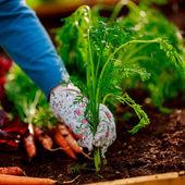 園芸 - 有機栽培にんじんの最初の収穫 — ストック写真