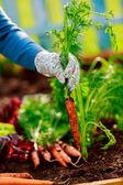 Trädgårdsskötsel - första skörd av ekologiskt odlade morötter — Stockfoto