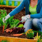 Jardinagem - primeira colheita de cenouras cultivadas organicamente — Foto Stock