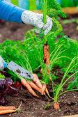 Jardinería - primera cosecha de zanahorias cultivadas orgánicamente — Foto de Stock