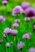 Garden herbs - chives blooming in the garden — Stock Photo