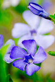 Summer garden - Periwinkle flowers — Stock Photo