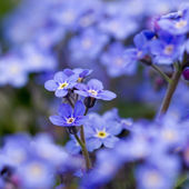 Spring garden, spring flowers - Forget me not flowers — Stock Photo