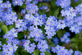 Spring garden, spring flowers - Forget me not flowers — 图库照片