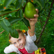 Orchard, fruits - lovely girl picking ripe pear — Stock Photo #48162093