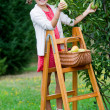 Orchard, fruits - lovely girl picking ripe pear — Stock Photo #48162127
