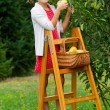 Orchard, fruits - lovely girl picking ripe pear — Stock Photo #48162137