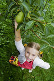 Gardening, orchard - lovely girl picking of tree ripe pears — ストック写真