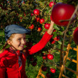 Apple orchard -  girl picking red apples into the basket — Stock Photo #48191941