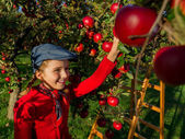 Apple orchard -  girl picking red apples into the basket — Stock Photo