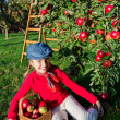 Apple orchard - Young girl picking red apples into the basket — Stock Photo