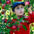 Orchard - girl picking red apples into the basket — Stock Photo