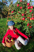 Apple orchard - Young girl picking red apples into the basket — Foto Stock