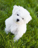 Puppy - cute puppy playing in the garden — Stock Photo