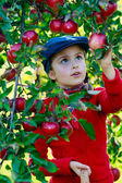 Orchard - girl picking red apples into the basket — Foto de Stock