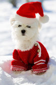 Christmas puppy, winter portrait of Maltese puppy — Stock Photo
