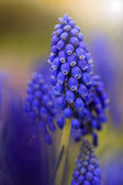 Spring flowers - Blue Muscari flowers, grape hyacinth — Stock Photo
