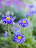 Summer garden - Aster flowers in the garden — Stock Photo