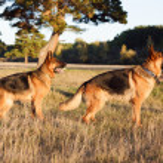 German Shepherd — Stock Photo #26399127