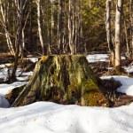Lonely tree stump — Stock Photo