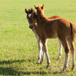 Stock Photo: Two foals