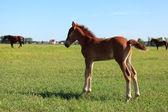 Peeing foal — Stock Photo